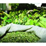 Erva-mate produzida em São Mateus do Sul